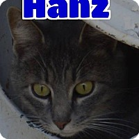 Domestic Mediumhair Cat for adoption in Lawrenceburg, Kentucky - #83-3673 Hanz - foster GB