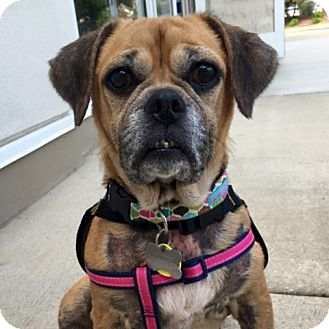 Pug/Beagle Mix Dog for adoption in Palatine, Illinois - Harmony
