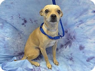 Chihuahua Mix Dog for adoption in Long Beach, California - Chris