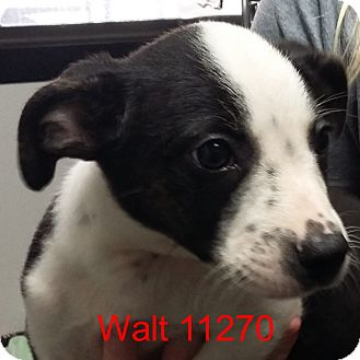 Australian Cattle Dog/Boston Terrier Mix Puppy for adoption in Greencastle, North Carolina - Walt