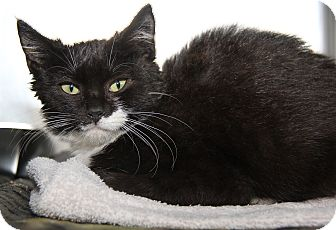 Domestic Shorthair Cat for adoption in Marietta, Ohio - Era (Spayed)
