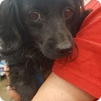 Papillon/Cocker Spaniel Mix Dog for adoption in Fresno, California - Petunia