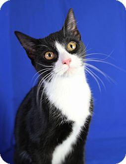 Domestic Shorthair Kitten for adoption in Winston-Salem, North Carolina - Miss Kitty