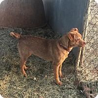 Adopt A Pet :: Ginger - Blanchard, OK