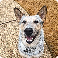Adopt A Pet :: Lady - Dallas, TX