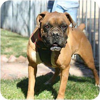 Boxer Dog for adoption in Encino, California - Rocky