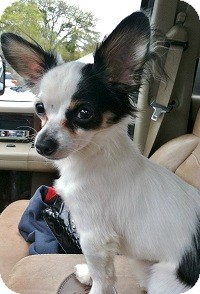 Chihuahua Mix Dog for adoption in AUSTIN, Texas - CLARK