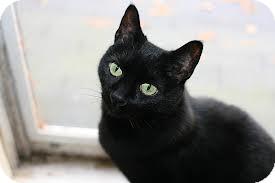 Domestic Shorthair Cat for adoption in Lancaster, Massachusetts - Star