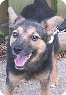 Terrier (Unknown Type, Small)/Shepherd (Unknown Type) Mix Dog for adoption in North Olmsted, Ohio - Byler
