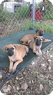 Black Mouth Cur/Rottweiler Mix Puppy for adoption in Spring Branch, Texas - Kitty, Kane, and Kilo