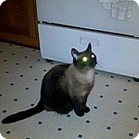 Adopt A Pet :: Echo (4 paw declaw) - Sterling Hgts, MI