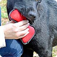 Adopt A Pet :: German Shepherd/Lab Puppies - Somers, CT