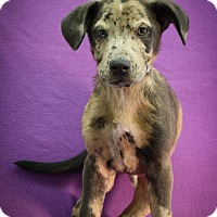 Adopt A Pet :: Stripes - Broomfield, CO