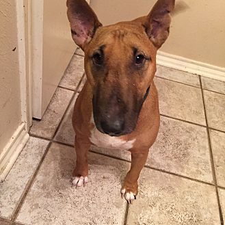 Bull Terrier Dog for adoption in Dallas, Texas - Nikki