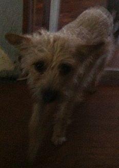 Yorkie, Yorkshire Terrier/Poodle (Miniature) Mix Dog for adoption in Visalia, California - Abbigail