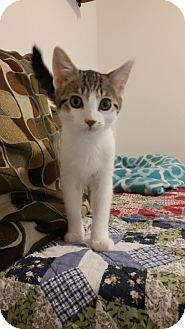 Domestic Shorthair Kitten for adoption in Stafford, Virginia - Renny