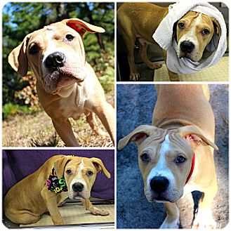 American Staffordshire Terrier/Boxer Mix Puppy for adoption in Forked River, New Jersey - CookieDough