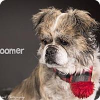 Adopt A Pet :: Boomer - Kirkland, QC