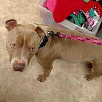 Pit Bull Terrier Dog for adoption in Paradise, California - TROY