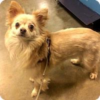 Adopt A Pet :: Comfort - St Louis, MO