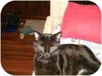 Domestic Shorthair Cat for adoption in Grand Rapids, Michigan - Onyx