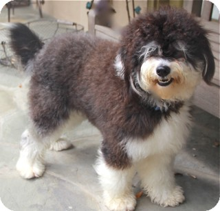 Portuguese Water Dog/Poodle (Standard) Mix Dog for adoption in Norwalk, Connecticut - Maddox - adoption pending