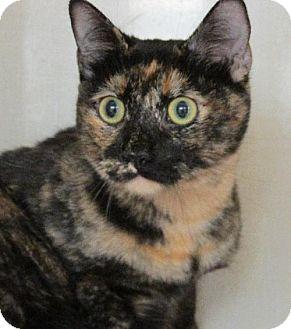 Domestic Shorthair Cat for adoption in Conroe, Texas - Rachel