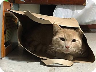 Domestic Shorthair Cat for adoption in St. Louis, Missouri - Glen Hansard
