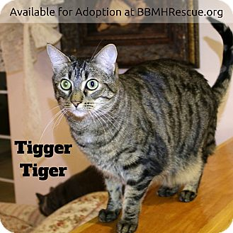 Domestic Shorthair Cat for adoption in Temecula, California - Tigger Tiger