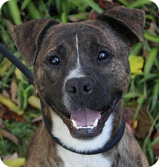 Pit Bull Terrier Mix Dog for adoption in Red Bluff, California - EDWARD