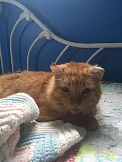 Domestic Shorthair Cat for adoption in St. Louis, Missouri - Dave Davies