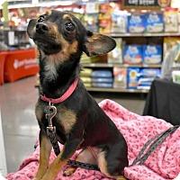 Adopt A Pet :: Coco - San Jose, CA
