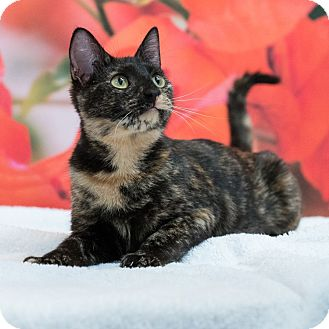 Domestic Shorthair Cat for adoption in Houston, Texas - Enchantress