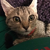 Adopt A Pet :: Meg - College Station, TX