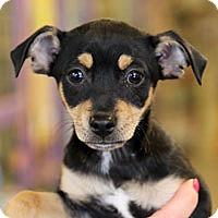 Adopt A Pet :: Minnie - Pacific Grove, CA