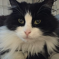 Domestic Longhair Cat for adoption in Lafayette, New Jersey - Beautiful