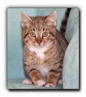 Domestic Shorthair Kitten for adoption in Howell, Michigan - Trevor