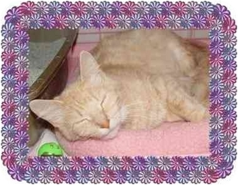 Maine Coon Cat for adoption in KANSAS, Missouri - Clarissa