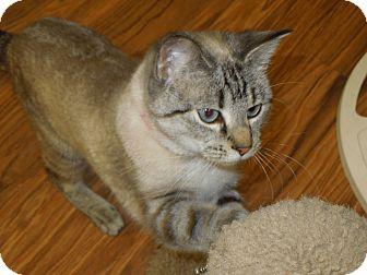 Siamese Cat for adoption in Medina, Ohio - Ivy