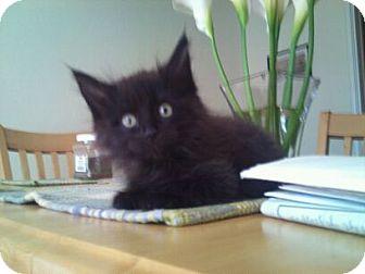 Domestic Longhair Kitten for adoption in Modesto, California - Howard