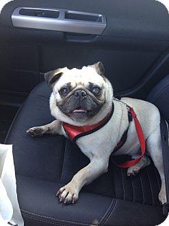 Pug Dog for adoption in Austin, Texas - Desi