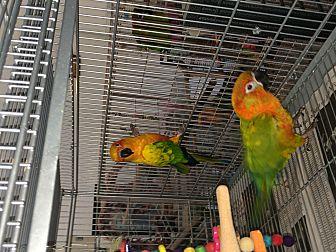 Conure for adoption in Punta Gorda, Florida - Brandy & Squeege