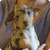 Adopt A Pet :: Tomas - Salem, NH