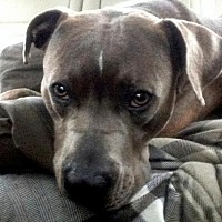 American Staffordshire Terrier/American Pit Bull Terrier Mix Dog for adoption in Staten Island, New York - Toby