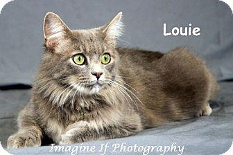 Domestic Mediumhair Cat for adoption in Oklahoma City, Oklahoma - Louie