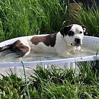 American Bulldog Mix Dog for adoption in Dodson, Montana - Zeus