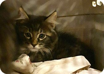 Maine Coon Kitten for adoption in Arcadia, California - Male Kitten 1