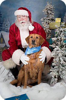 Golden Retriever/Labrador Retriever Mix Dog for adoption in Virginia Beach, Virginia - Jules