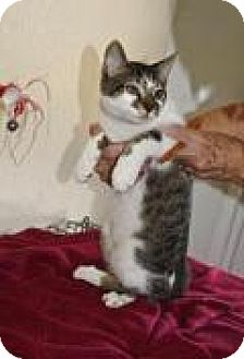 Domestic Shorthair Cat for adoption in Englewood, Florida - Smudge