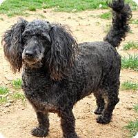 Toy Poodle Dog for adoption in Spartanburg, South Carolina - Carlton